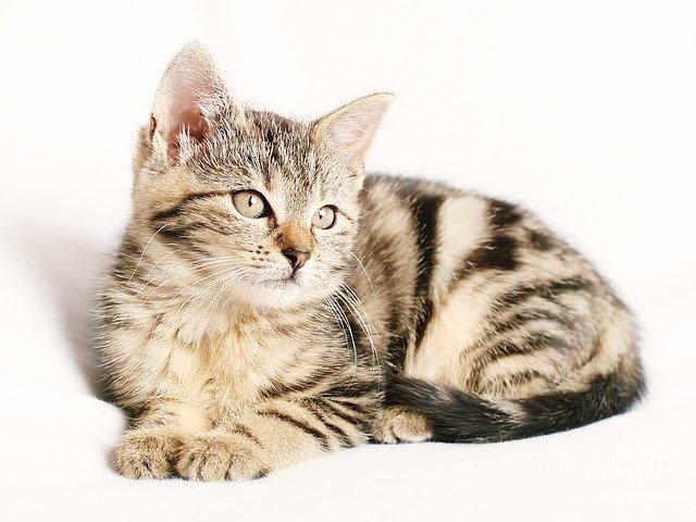 אוכל לחתול